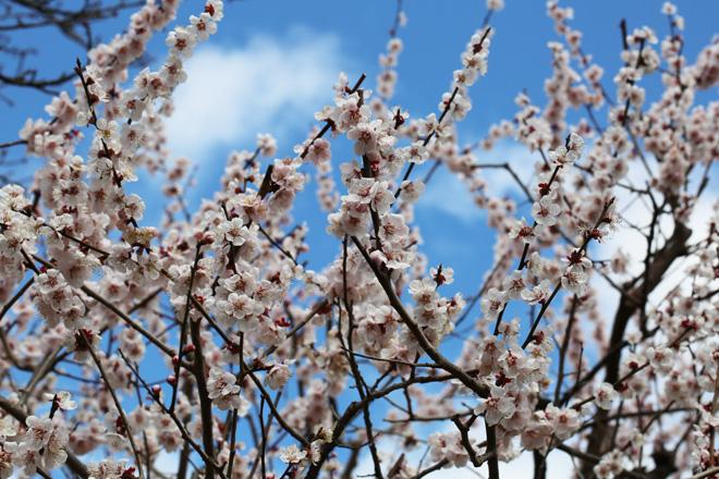 北野天満宮 梅苑の梅