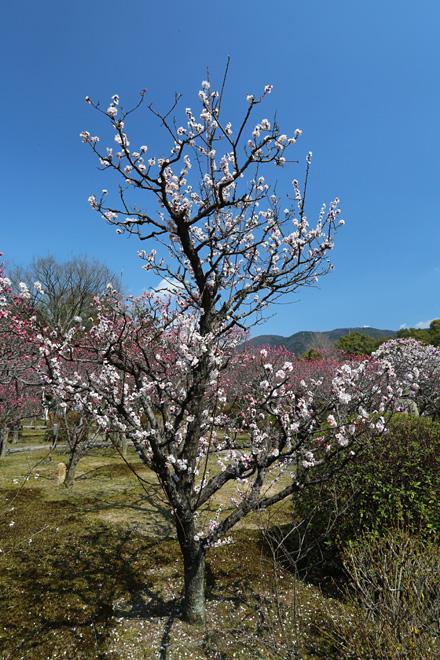 随心院の梅