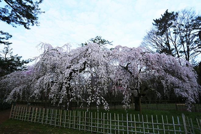 京都御苑 近衞邸跡の枝垂れ桜