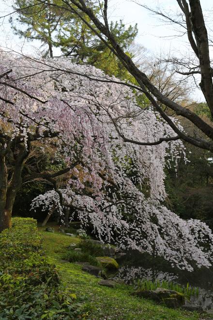 京都御苑 近衞池の枝垂れ桜