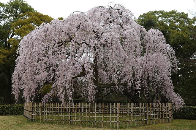 京都御苑 出水の枝垂れ桜