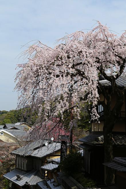 産寧坂の枝垂れ桜