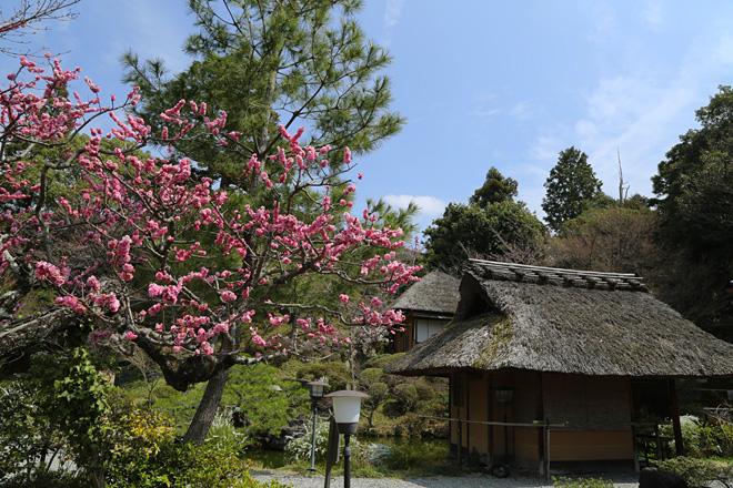 青龍苑 庭園の梅