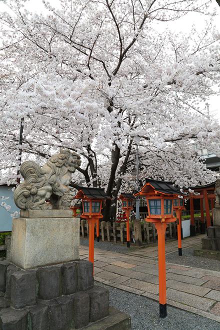 六孫王神社の桜