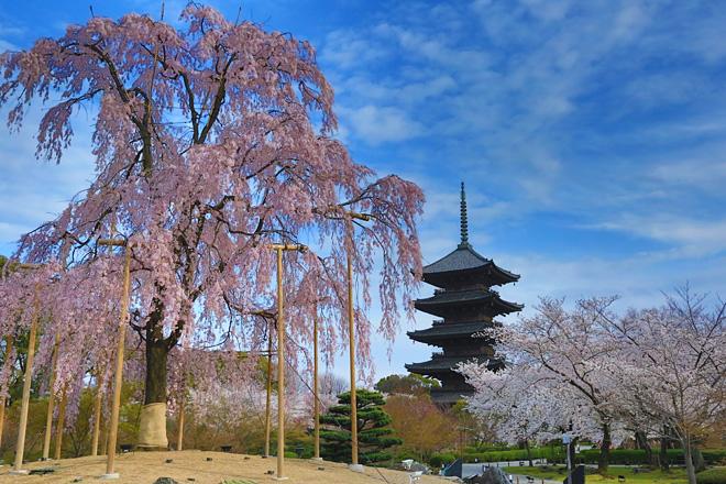 東寺 不二桜と五重の塔