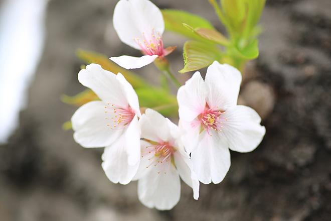 天神川(四条~五条)の桜