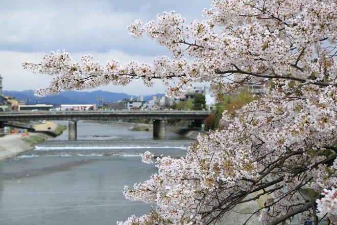 鴨川の桜 ~団栗橋から四条大橋を望む~
