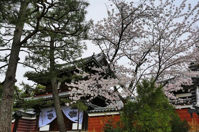 建仁寺 開山堂の桜