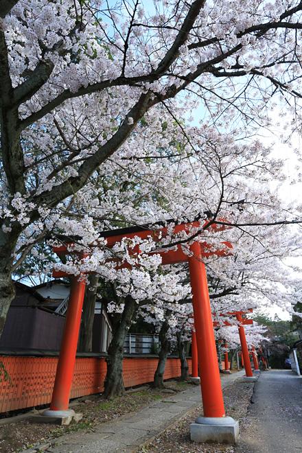竹中稲荷社の桜