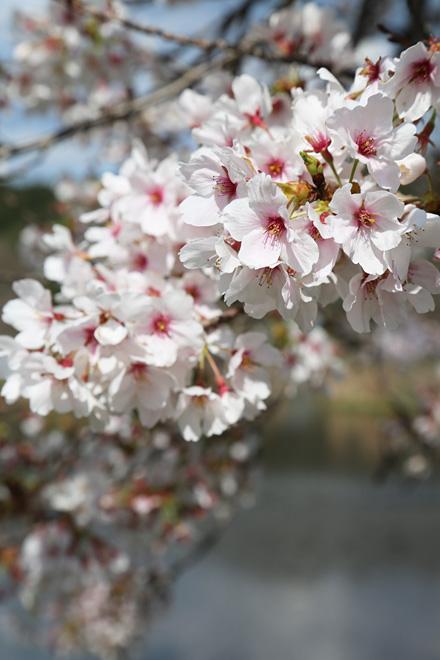 深泥池の桜