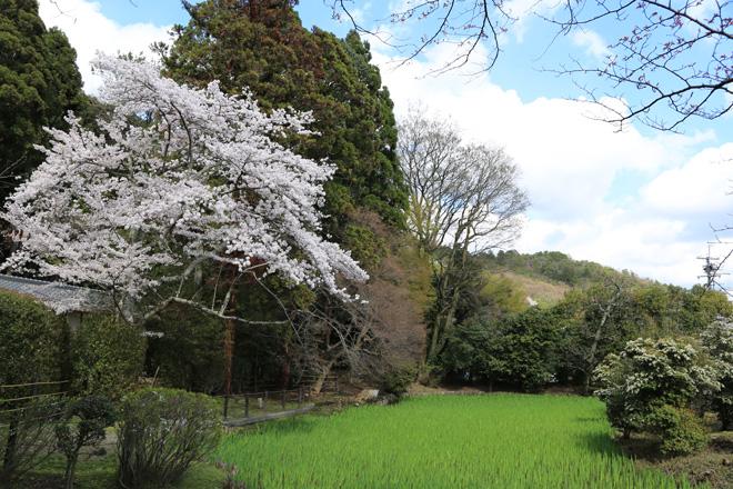 大田の沢の桜
