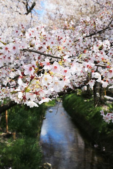 白川疎水の桜