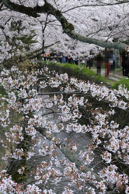 哲学の道の桜 ~銀閣寺側から~