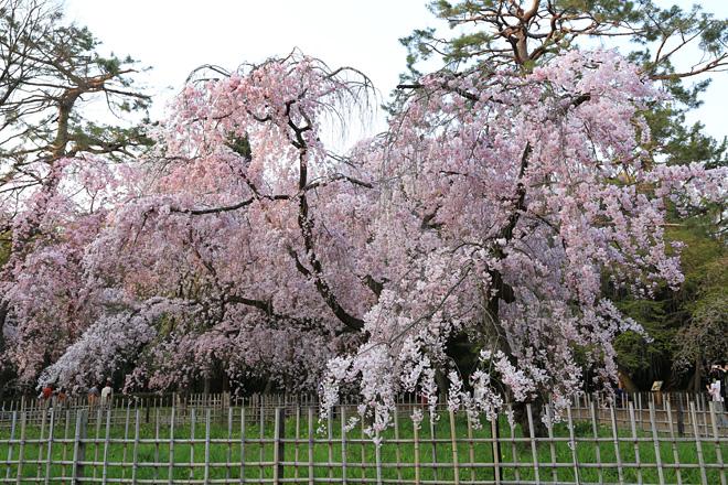 京都御苑 近衞邸跡の紅枝垂れ桜