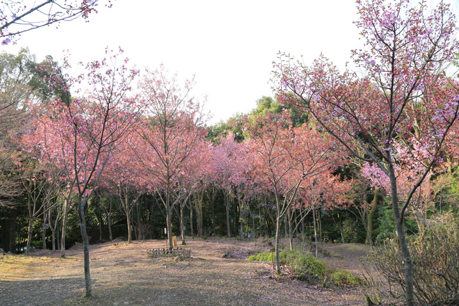 熊野若王子神社 桜花苑の桜
