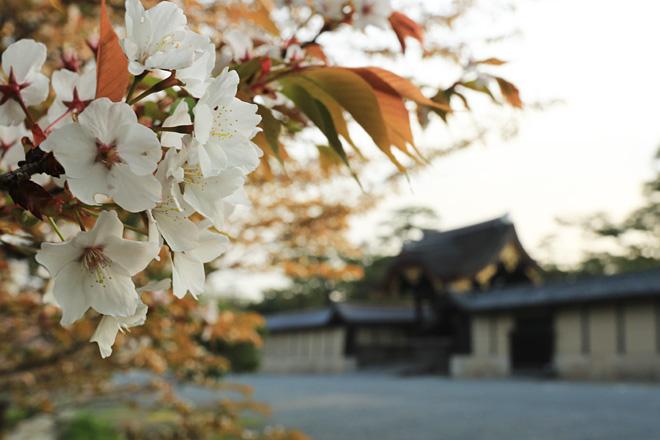 京都御苑の桜松