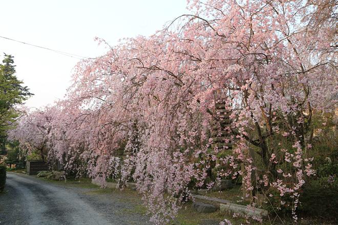 佐野造園(植藤造園)の桜