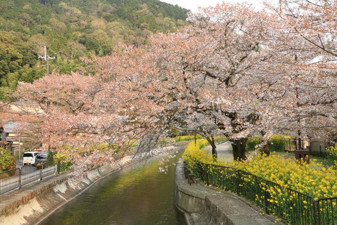 山科疎水の桜