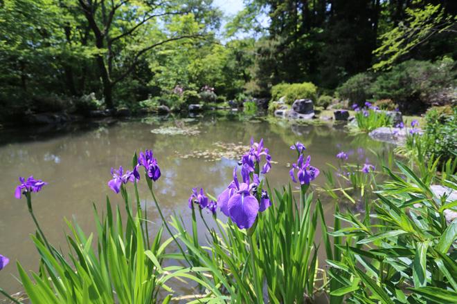 京都府立植物園のカキツバタ