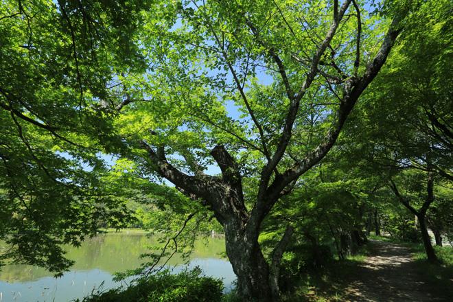 新緑の大沢池