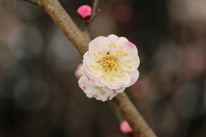 京都府立植物園の梅林にて