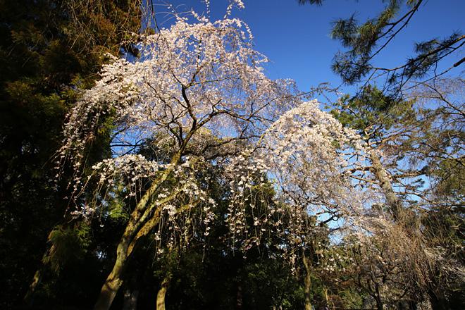 近衛邸跡の枝垂れ桜